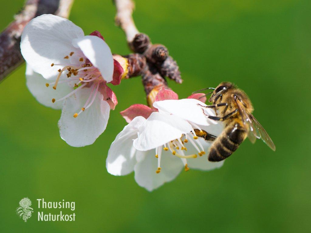 Biene beim bestäuben der Pflanzen